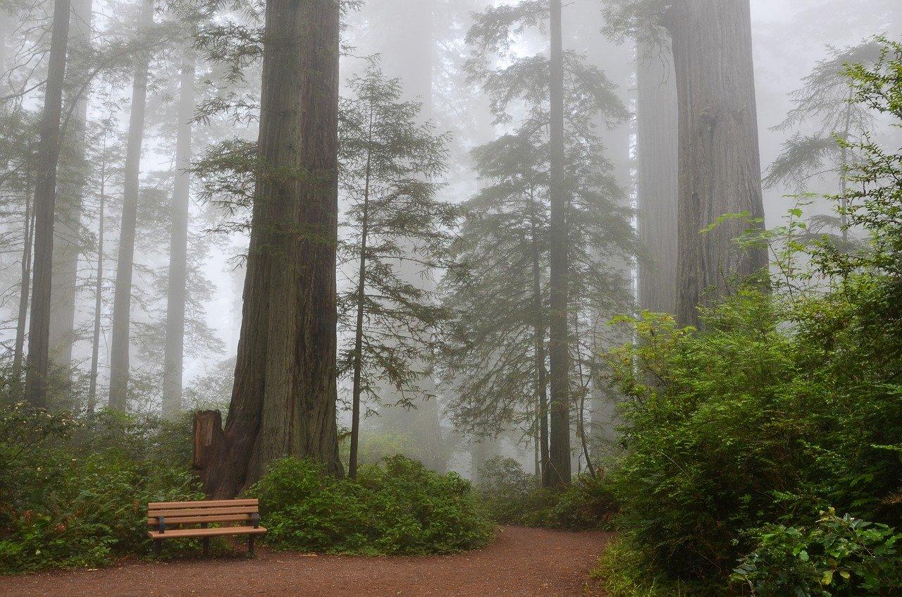 Redwood in mist