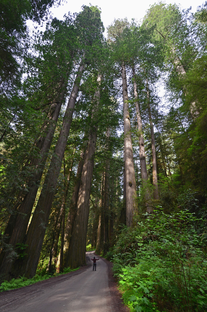 Visitor by redwood trees